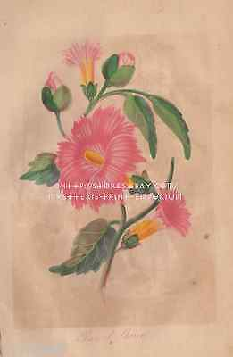 Rose Of Sharon-Pink-Flower-Hand Colored Picture-1866 ANTIQUE VINTAGE ART PRINT