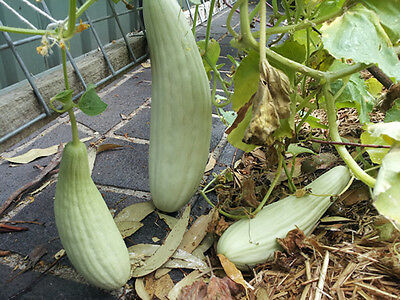 Armenian Long Cucumber / Snake Cucumber -  10 Seeds