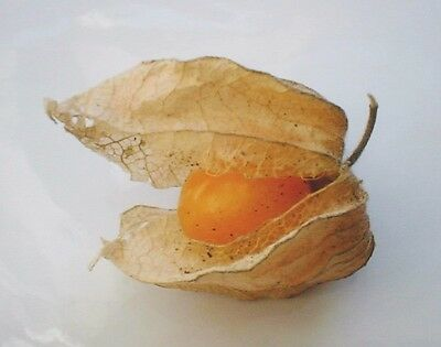 500 Seeds - Inca Berry / Cape Gooseberry / Aztec Berry - Physalis peruviana