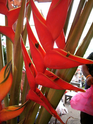 Bulb HELICONIA STRICTA HUBER 'BIG BLOOD' Plant + FREE Phytosanitary Certificate
