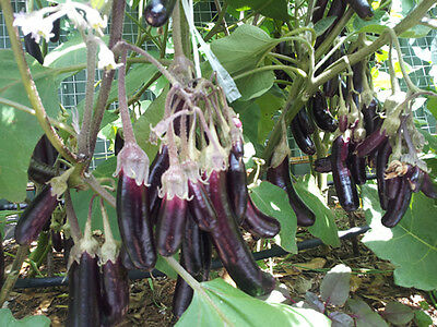 Little Finger Eggplant - An Extreme High-Yielding Variety - 20 Seeds