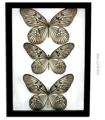3 x Rice Paper Butterflies (Idea leuconae) Butterfly * Museum Mount Taxidermy