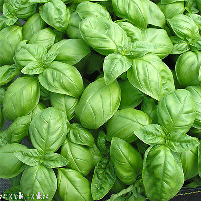 Genovese Basil Herb Heirloom Seeds - Non-GMO - Untreated - Open Pollinated!