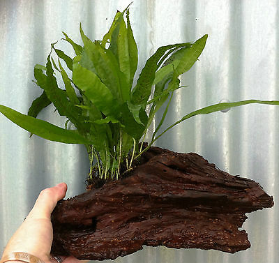 Java Fern Microsorum Pteropus on Bogwood Live Aquarium Plants Crab