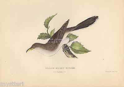Yellow Billed Cuckoo-Bird-1851 ANTIQUE VINTAGE HAND COLORED ART PRINT-Picture