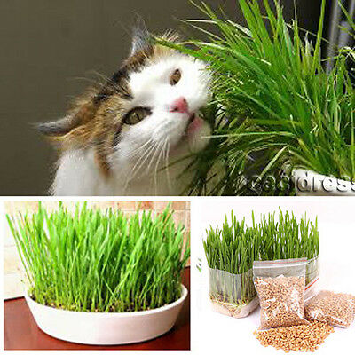 New harvested cat grass 2oz/approx.1400 seeds 100% organic including guide