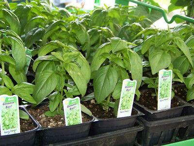 basil, GENOVESE, SPICE HERB, for pesto, 940 seeds GroCo