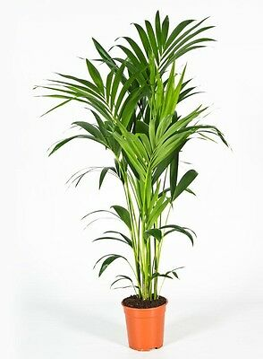 verschiedene washingtonia robusta 100 170 cm arecaceae. Black Bedroom Furniture Sets. Home Design Ideas