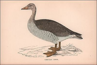 Greylag Goose, hand colored wood block by Morris, anique, original 1870