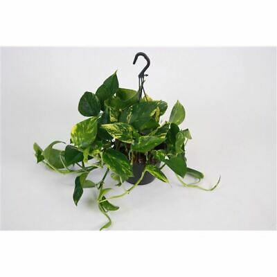 Scindapsus Plant in a Hanging Pot. Devils Ivy