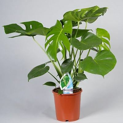 Swiss Cheese Plant (Monstera Deliciosa) in 17cm pot. 60cm tall approx.