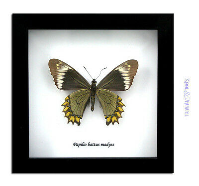 Madyes Swallowtail Butterfly (Battus madyes) * REVERSE Museum Mount Taxidermy
