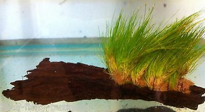 "Hair Grass ""Eleocharis Parvulus"" Growing on Bogwood Live Aquarium Plants"