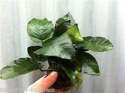 Anubias Nana Golden on Lava Rock Tropical Live Aquarium Plant java moss shrimp