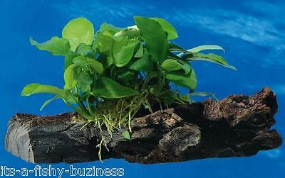 Anubias Nana on Bogwood Tropical Live Aquarium Plant java moss shrimp