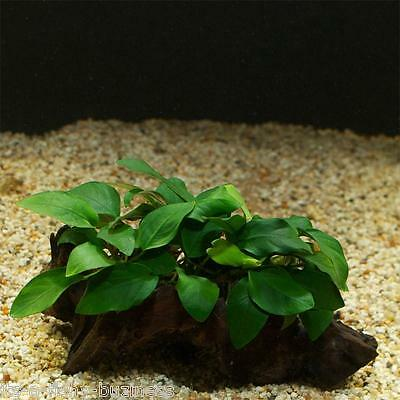 Anubias Berteri on Bog wood Tropical Live Aquarium Plant java moss shrimp