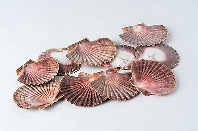 "Mexican Flat Sea Shell Beach Craft Scallop 2"" - 3"" ( 10 PCS )"
