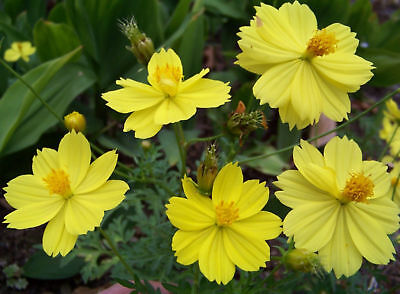 cosmos, LADYBIRD DWARF LEMON, yellow flower, 90 seeds! GroCo