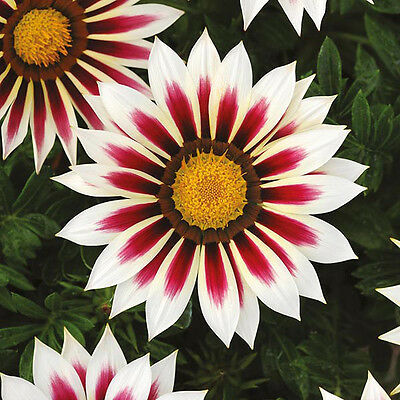 Coastal Gazania Treasure Stars Flame Bulk Pack 1 Gram Around 330 Fresh Seeds