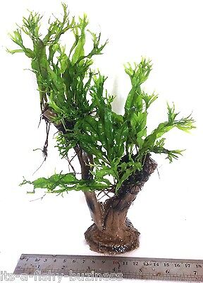 "Microsorum Pteropus ""Windelov"" Java Fern Jungle Tree Plant Moss co2 Marimo #2"