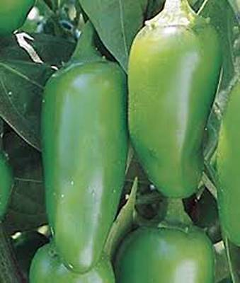 Pepper Seed, Early Jalapeno Chille, Heirloom, Organic, Nongmo, 20+ Seeds, Chille