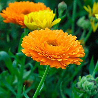 Calendula Officinalis English Marigold One Gram Approx. 75 Seeds