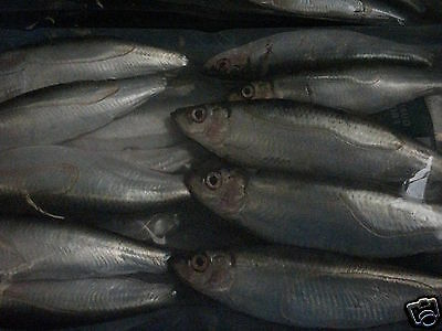 FISHING BAIT FROZEN WHOLE CORNISH  MACKEREL (3 packs of 3 fish )