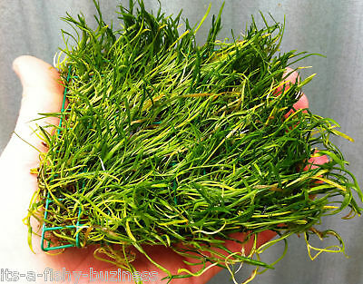 lilaeopsis brasiliensis Brazilian Micro Sword on Pad Live Fresh Water Plant