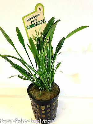 2x Cryptocoryne Parva Forground Lawn Plants Pots Java Shrimp Moss co2