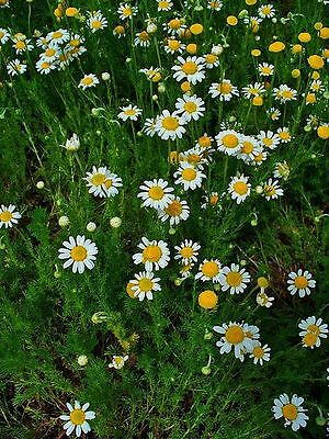 Chamomile Herb perennial plant 7cm pot Free Delivery over £20