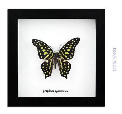Tailed Jay / Green Triangle Butterfly (Graphium agamemnon) * Taxidermy
