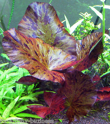 Nymphaea Zenkeri Red + Green Tiger Lotus bulbs live plants Aquarium Jave