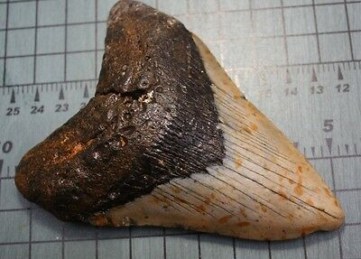 """4.85"""" Large Megalodon Shark Tooth Fossil"""
