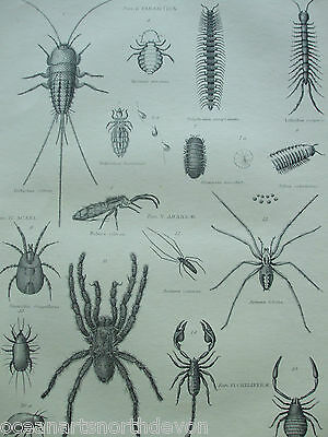 Antique Print Dated C1880's Engraving Arachnida Spiders Scorpions Parasites Art