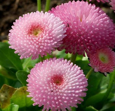 Bellis English Daisy Seed Strawberries & Cream Trade Pack One Gram Free Post