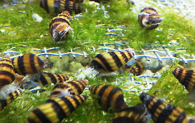 Assassin Snail Killer Bumble Bee Clea Helena Tropical Fresh Water Co2 crab