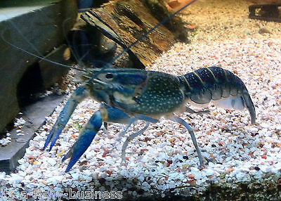 2x Crayfish Blue / Red Claw Lobster Cherax quadricarin Tropical Cold water MOSS