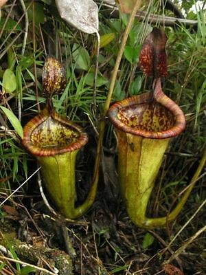 10 semi di NEPENTHES ATTENBOROUGHII - PIANTA CARNIVORA
