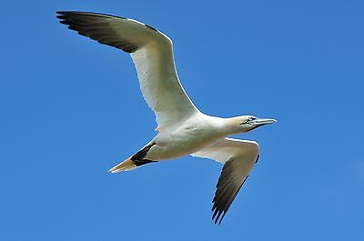 Photo, Wallpaper Digital Picture free ship world wide, Northern gannet in flight