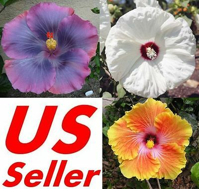 10 Pcs Garden Giant Hibiscus Flower Seeds B67 B73 B74 Awesome Huge