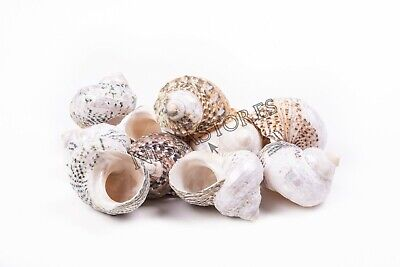 "Mexican Turbo Sea Shell Beach Craft Hermit Crab 1 1/2"" - 2 1/2"" (8 PCS )"