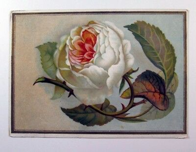 Oliver J.Freeman Apothecary Photo of a White rose Vintage Trade Ad Card