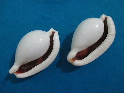 SeaShell Ovula Costellata,86mm length(3.9 inch) - 2Piece