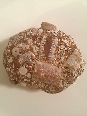 "~Fossil Conglomeration-2"" with Large Crinoids-Very Interesting!"