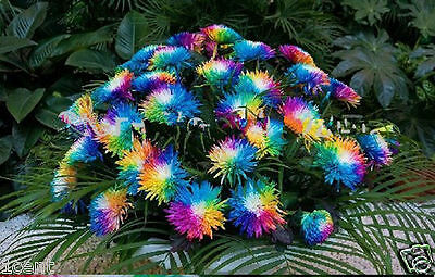 240 seeds of Rainbow chrysanthemum Himalayan Orchid flower Home gardening