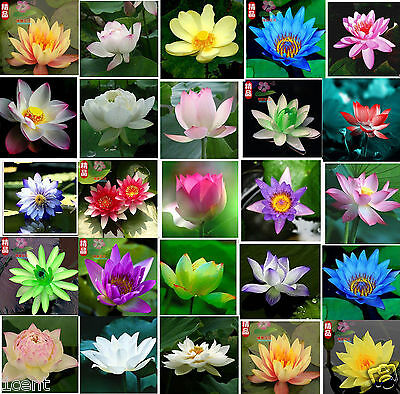 30 seeds of water lily mini small lotus Hydroponic flowers aquarium Waterlilies