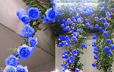 300 seeds climbing Rose Balcony hedge tree type bonsai planting garden flowers