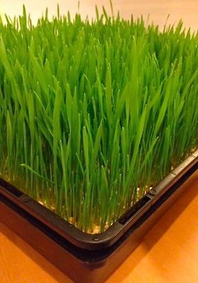 Trays for sprouting Wheat Grass or Barley Grass ( Fine holes + Holding Tray )