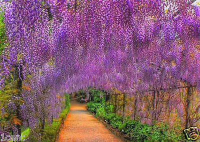 10 seeds of fragrant Pink Wisteria tree flowers
