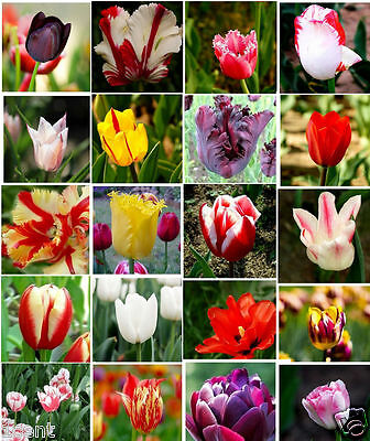 100 seeds of Tulip flowers mix of colors red white pink black purple Tulipa